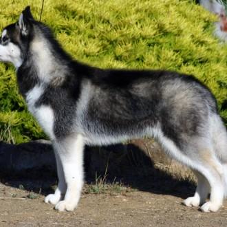 Dog (Husky)