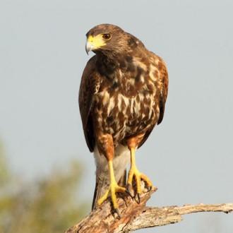 Hawk (Harris Hawk)