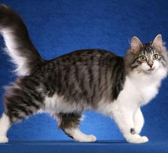 Cat (Tabby)