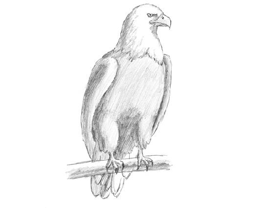 eagle  bald