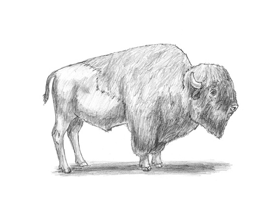 Line Drawing Yak : Bison drawing