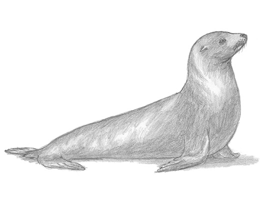 ca-sea-lion