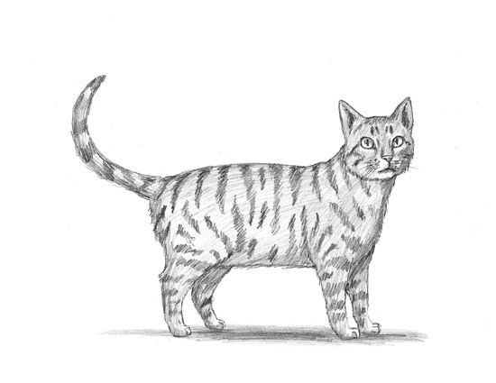 Cat tabby animalstodraw for Website where you can draw