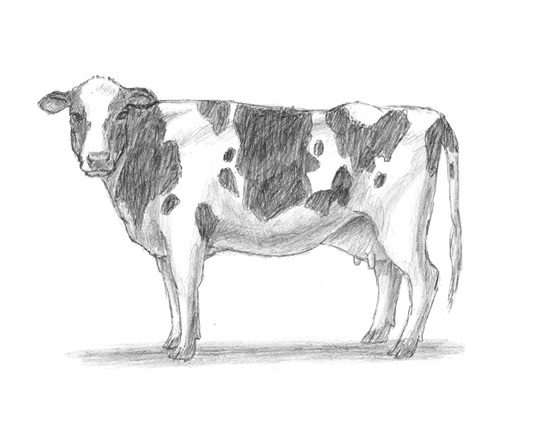 Cow Pencil Head Pencil Drawing Cow