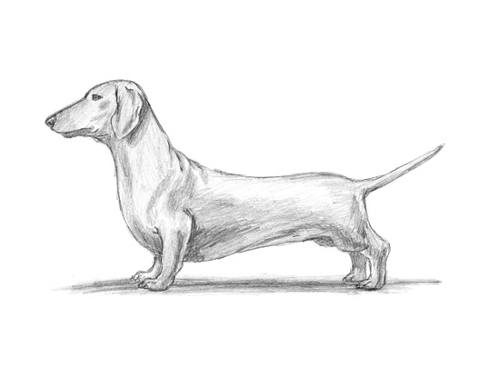 dachshund-dog