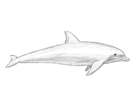Line Drawing Dolphin : Dolphin animalstodraw