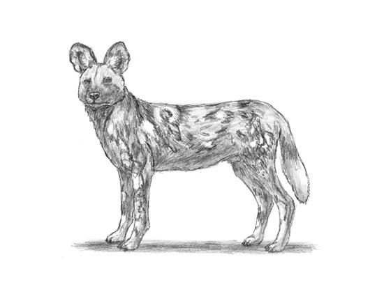 Draw african wild dog