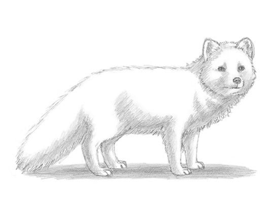 draw-arctic-fox