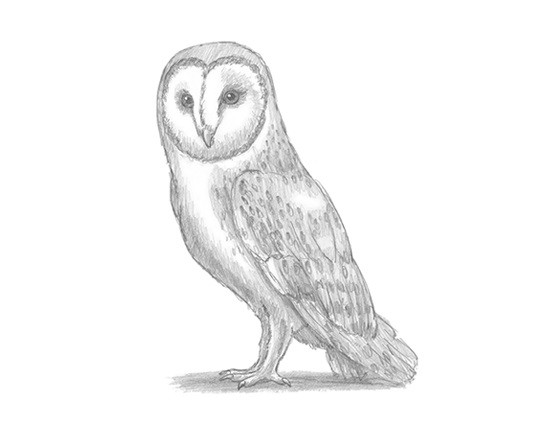 Barn Owl Line Drawing