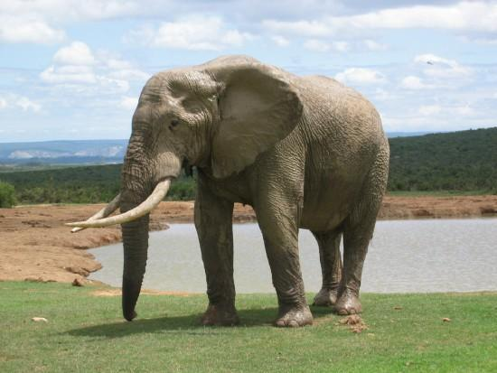 Understanding elephant empathy and their emotions   World