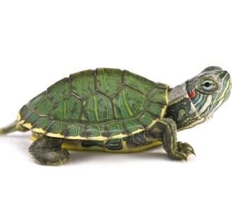 Turtle (Red-Eared Slider)