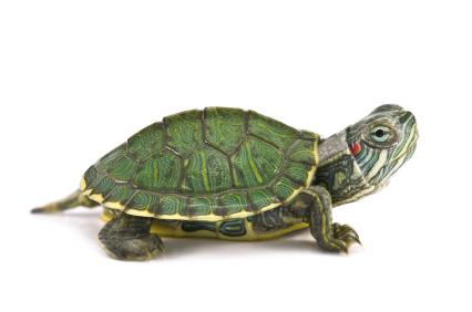 Turtle (Red-Eared Slider) animalstodraw