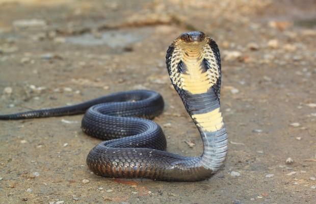 King Cobra Snake Photos: Snake (King Cobra)